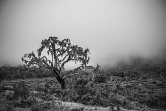 Tanzania - Mt Meru - Spooky tree